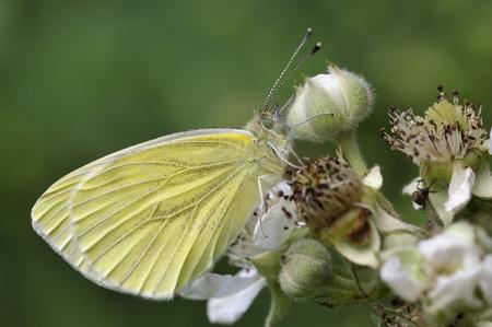 pieris: Green-veined White Butterfly - Pieris napi Underside, on Bramble Flower Stock Photo
