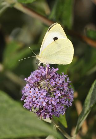pieris: Large White - Pieris brassicae  on Buddleja flower