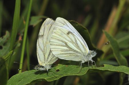 Green-veined White - Pieris napi Pair mating, Underside