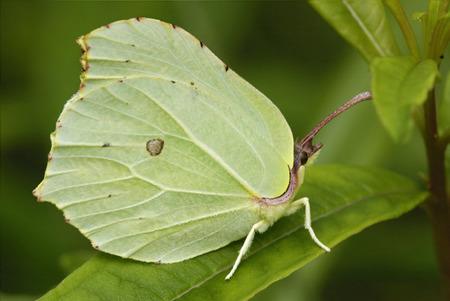 Brimstone - Gonepteryx rhamni Female