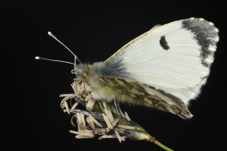 Orange Tip - Anthocharis cardamines Female on grass flower