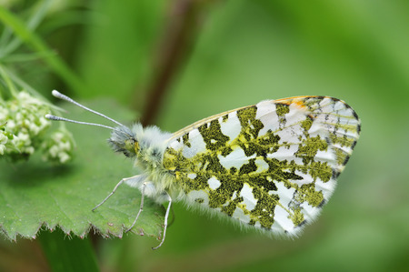 Orange Tip Butterfly - Anthocharis cardamines Male, wings closed
