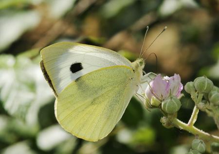 Large White Butterfly - Pieris brassicae On Bramble flower Stock Photo