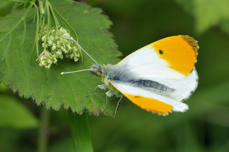 Orange Tip - Anthocharis cardamines Male, wings partially open