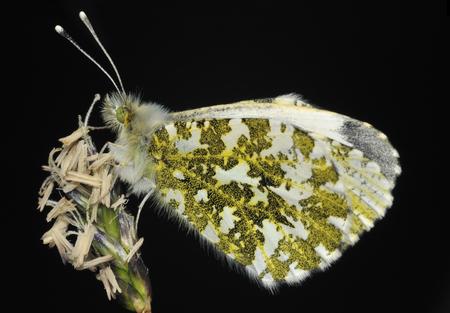 Orange Tip - Anthocharis cardamines Female underside on grass flower