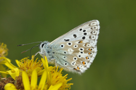Chalkhill Blue - Lysandra coridonUnderside on Ragwort flower
