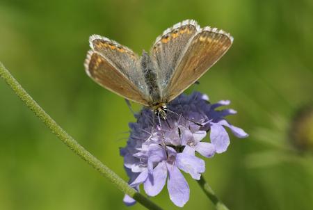 landscape: Chalkhill Blue Butterfly - Lysandra coridon, female on Scabious flower