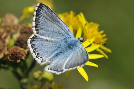 Chalkhill Blue Butterfly - Lysandra coridon, on Ragwort flower Stock Photo