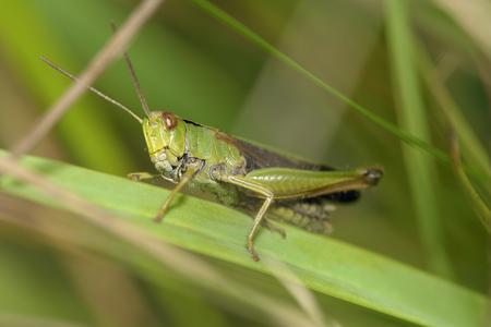 chorthippus: Meadow Grasshopper - Chorthippus parallelus on grass leaf