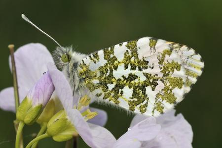 Orange Tip Butterfly - Anthocharis cardaminesMale, on Cuckoo Flower or Ladys Smock - Cardamine pratensis