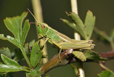 Meadow Grasshopper - Chorthippus parallelus on Hawthorn - Crataegus monogyna