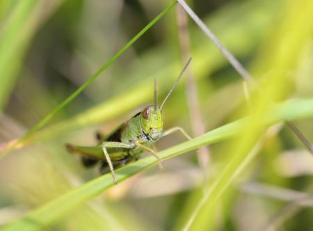 chorthippus: Meadow Grasshopper - Chorthippus parallelus Head on view