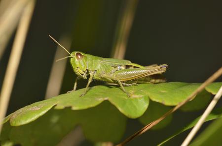 chorthippus: Meadow Grasshopper - Chorthippus parallelus on Oak Leaf