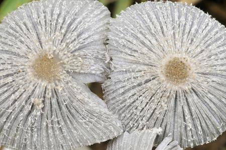 Haresfoot Ink-Cap Fungus - Coprinopsis lagopus Closeup of two caps