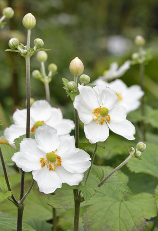 anthers: Japanese Anemone - Anemone hupehensis White garden flowers. Native of China
