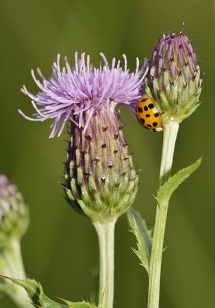 Harlequin Ladybird - Harmonia axyridis  On Creeping Thistle - Cirsium arvense