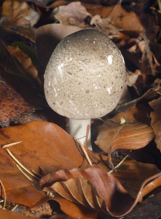 Agaricus moelleri - Inky Mushroom or Grey Stainer  New cap