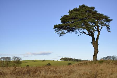 스코틀랜드 소나무 - Pinus sylvestris 및 North Hill, Waldegrave Pool, Mendip Hills, Somerset