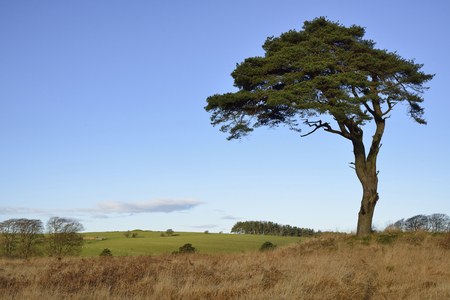 Scots Pine Tree - Pinus sylvestris, and North Hill, Waldegrave Pool, Mendip Hills, Somerset