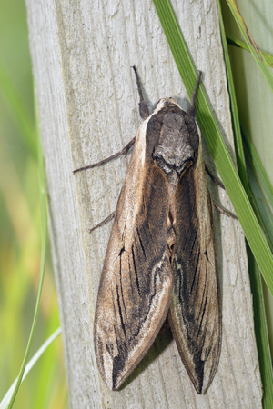 Privet Hawkmoth - Sphinx ligustriOne of Britains Largest Moths