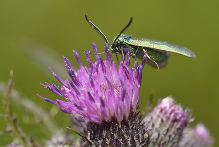 Common Forester - Procris statices  on Marsh Thistle - Cirsium palustre