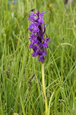 Broad-leaved Marsh Orchid - Dactylorhiza majalis Single flower spike in fresh green grass
