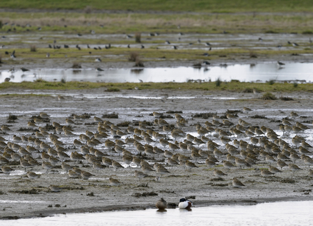 Golden Plover - Pluvialis apricaria Flock roosting om mud flats Stock Photo