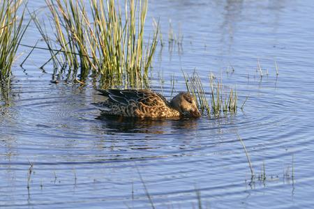 Northern Shoveler - Anas (Spatula) clypeata Female Duck Feeding in water Stock Photo