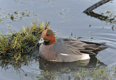 Eurasian Wigeon - Anas penelope Male in flooded field Stock Photo