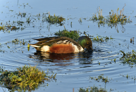 Northern Shoveler - Anas (Spatula) clypeata Male Duck Feeding in water