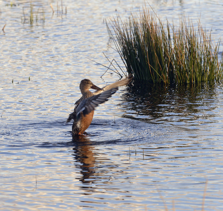 Northern Shoveler - Anas (Spatula) clypeata Female Duck upright flapping wings Stock Photo