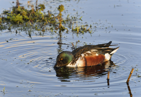 Northern Shoveler - Anas (Spatula) clypeata Male Duck Feeding in water