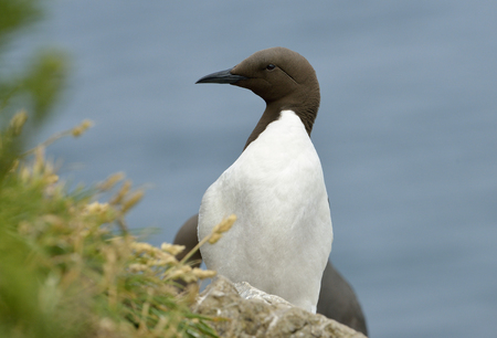Guillemot or Common Murre - Uria aalgeOn cliff top Stock Photo