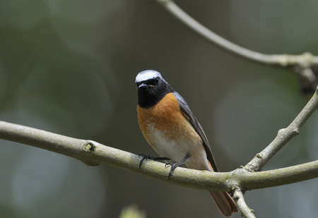 Male Redstart - Phoenicurus phoenicurusIn Ash tree Stock Photo