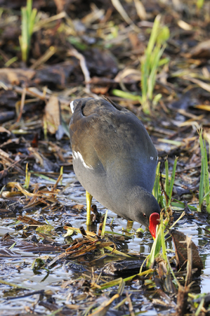 Moorhen searching for food in marsh - Gallinula chloropus