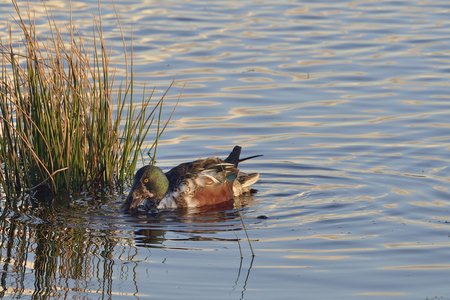 Northern Shoveler - Anas (Spatula) clypeata Male coming out og eclipse plumage