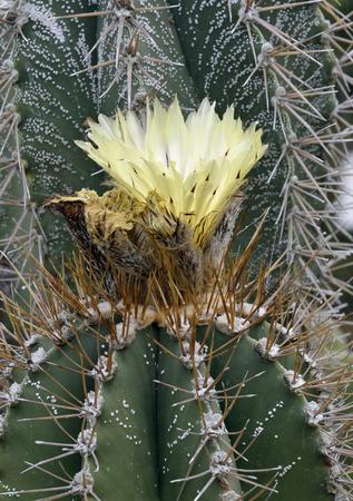 Monks Hood or Bishops Hat Cactus - Astrophytum ornatum Stock Photo