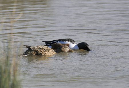 Northern Shoveler - Spatula clypeata Pair circling and feeding in water Stock Photo