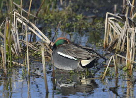 Common Teal Duck - Anas crecca Male resting by water