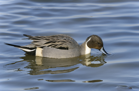 Northern Pintail - Anas Acuta Male feeding on water