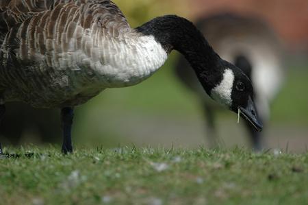 Canada Goose feeding on city lawns