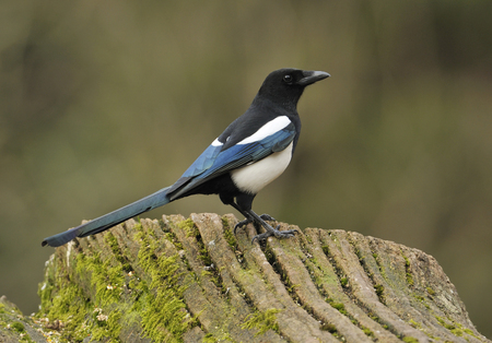Magpie - Pica pica Perched on a log