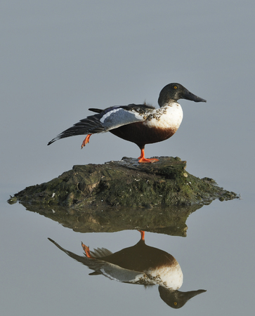 Northern Shoveler - Spatula clypeata Wing stretching with reflection