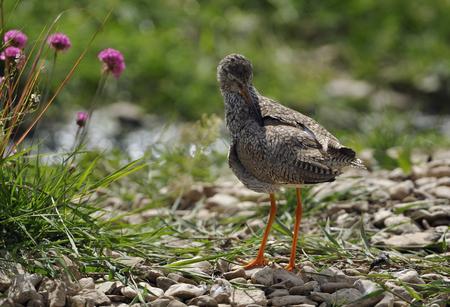 Redshank - Tringa totanusWader bird preaning Stock Photo