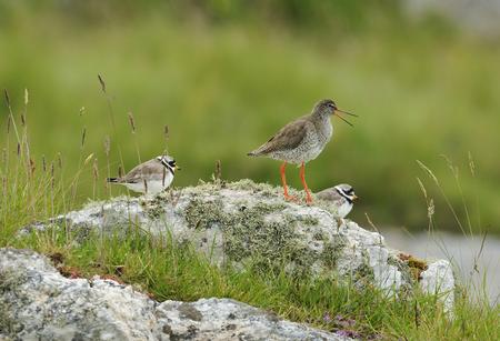 Redshank - Tringa totanus, calling  with two Ringed Plovers - Charadrius hiaticulaon Lichen Rock