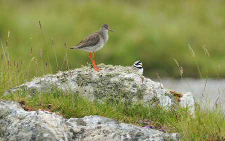 Redshank - Tringa totanus, with Ringed Plover - Charadrius hiaticulaon lookout on Lichen Rock