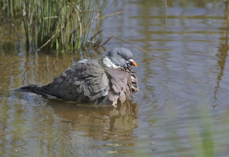 Wood Pigeon - Columba palumbus Taking a bath in a pond Banque d'images
