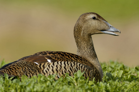 Female Common Eider Duck - Somateria mollissima On nest in short turf against diffused background Banque d'images
