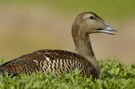Female Common Eider Duck - Somateria mollissima On nest in short turf against diffused background Banco de Imagens