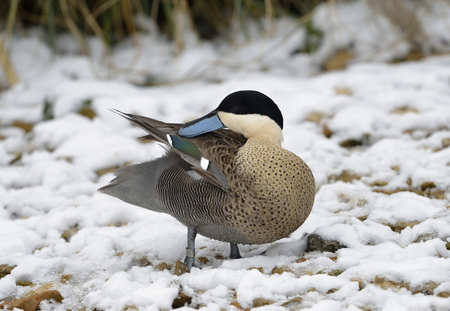 Puna Teal - Anas versicolor puna Preaning in Snow Stock Photo